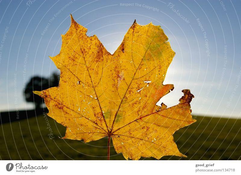 wärme Himmel blau grün Baum Blatt gelb Herbst Schönes Wetter Ahorn
