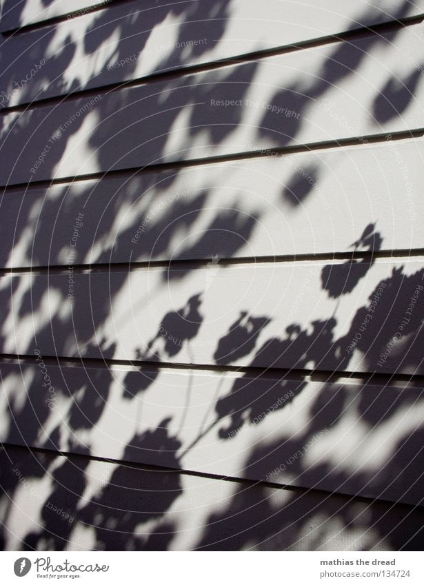 KIRSCHBLÜTEN Silhouette Baum Pflanze Blatt Blüte Unschärfe Wand Putz Haus Oberfläche parallel minimalistisch träumen schön Licht Sonnenlicht Sommer Schatten