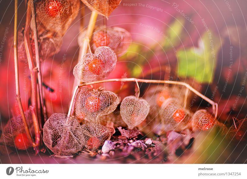Physalisnetzchen Natur Pflanze grün schön Erholung Umwelt Herbst Stil Garten Lebensmittel braun rosa Frucht orange träumen leuchten