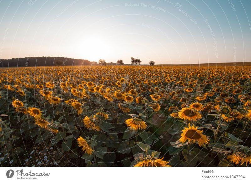 Sonnenblumen Umwelt Natur Pflanze Himmel Sonnenaufgang Sonnenuntergang Sonnenlicht Sommer Schönes Wetter Blume Nutzpflanze Sonnenblumenfeld Feld ästhetisch gelb