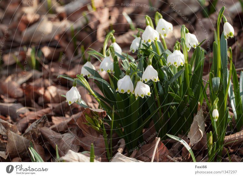 Märzenbecher Natur Pflanze Frühling Schönes Wetter Blume Wildpflanze Blatt Wiese Wald wandern Duft schön klein braun grün weiß Kraft Frühlingsgefühle