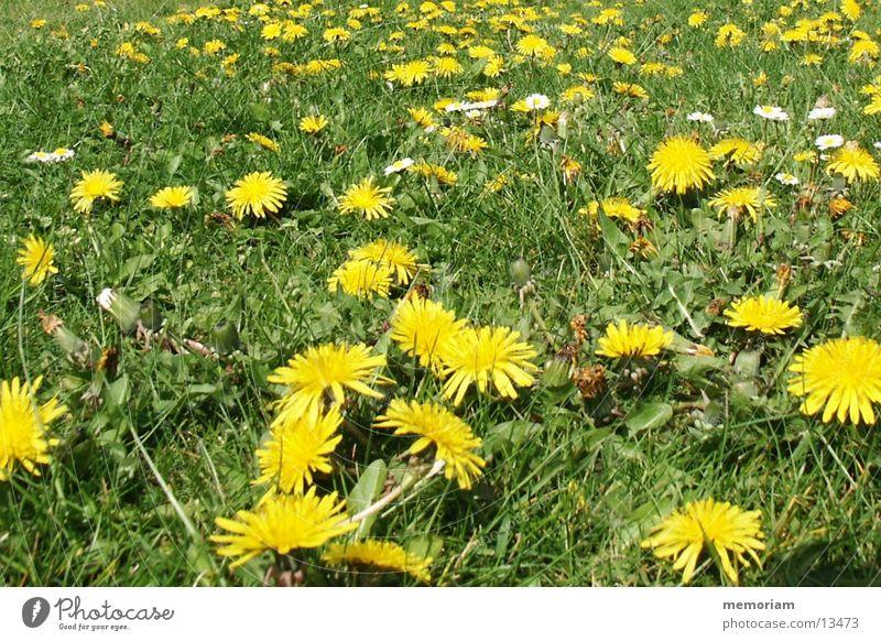 gegen_rasenmaehen Blume Wiese Blüte Rasen