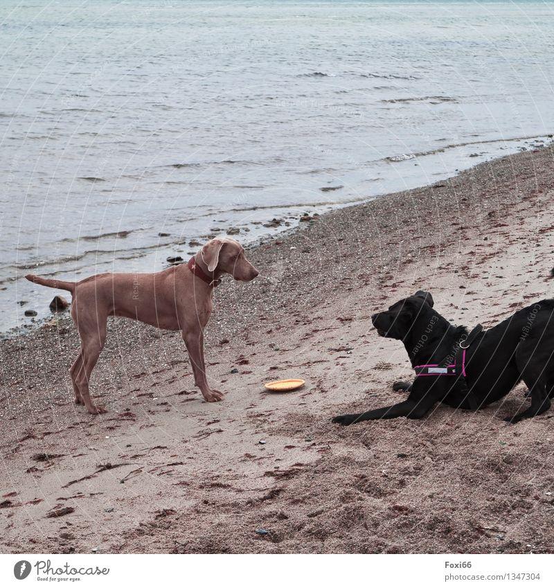komm Spiel mit mir Sand Luft Wasser Frühling Wetter Küste Ostsee Haustier Hund 2 Tier Tierpaar Spielzeug Frisbee Kunststoff Fährte Jagd Spielen toben