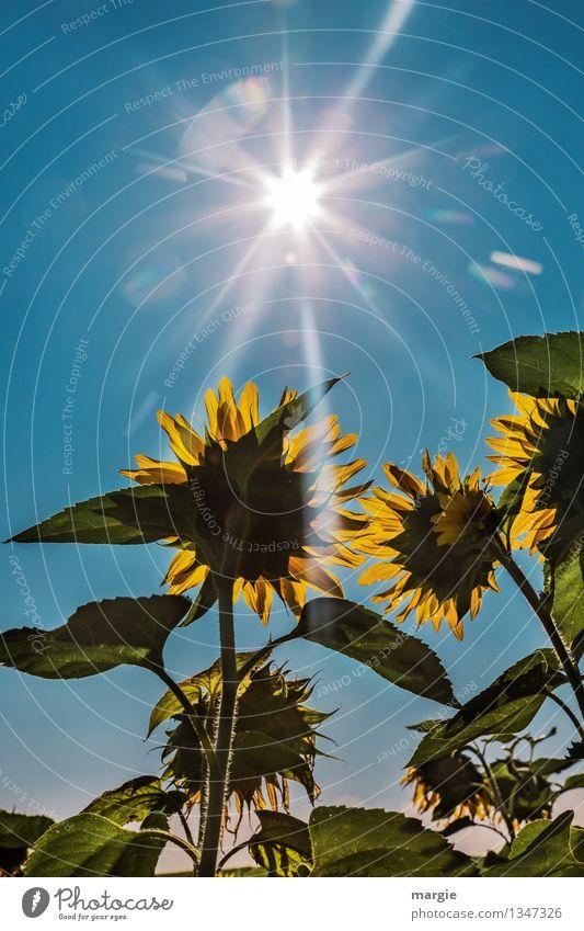 .... und sie strahlten um die Wette.  Sonnen - Blumen mit blauem Himmel und Sonnenstrahlen Umwelt Natur Pflanze Tier Wolkenloser Himmel Sommer Herbst Blatt