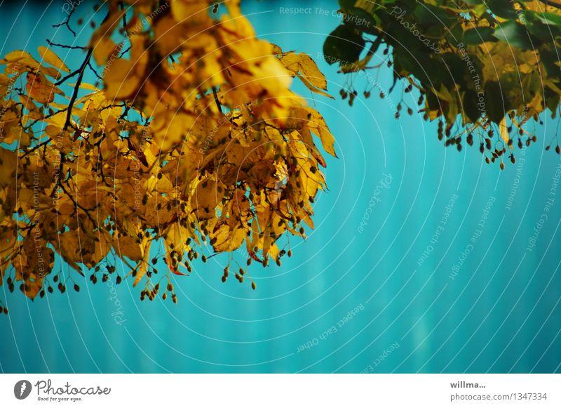 herbstchallenge Blatt gelb Herbst Zweig türkis Herbstfärbung Linde Lindenblatt