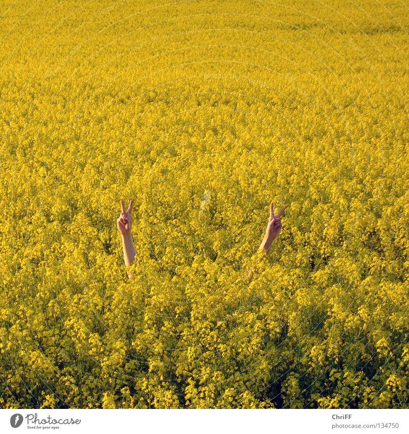 Peace in Rapsfeld I Hand Frieden gestikulieren Feld gelb Frühling Blühend Natur Arme