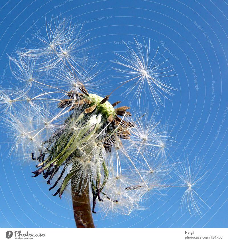 Nahaufnahme einer Pusteblume vor blauem Himmel Blume Löwenzahn blasen mehrere säen Sommer Frühling Mai Pflanze Blühend Wiese Wegrand Wachstum gewachsen