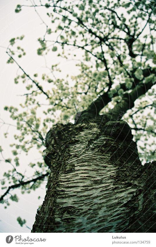 Kirschbaumblüten Baum Blüte Wolken schwarz grau weiß Frühling Himmel alt