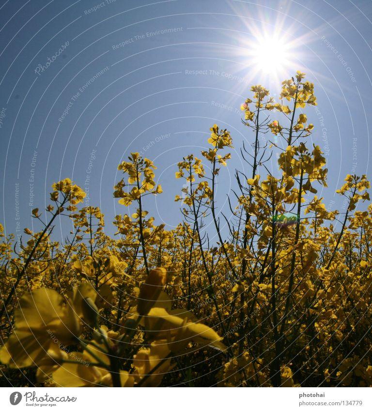 Rapsfeld 1 Feld Gegenlicht Frühling Himmel gelbe Pracht immer wieder schön anzusehen Freude schöne Farben coole Optik