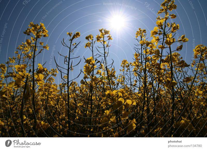 Rapsfeld 2 Feld Gegenlicht Frühling Himmel gelbe Pracht immer wieder schön anzusehen Freude schöne Farben coole Optik