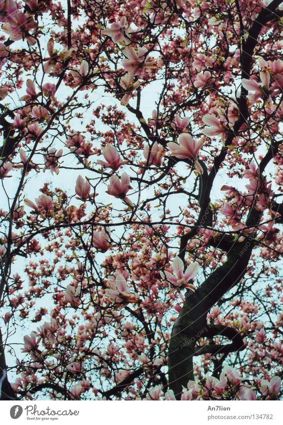 Blütenpracht Magnoliengewächse Baum Frühling rosa weiß prächtig sanft