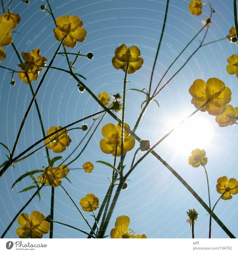 AmeisenAnsicht II Sommer Physik heiß brennen Jahreszeiten Blume Blüte Butter gelb Eigelb Blumenwiese Wiese himmelblau azurblau Froschperspektive Licht Tapete