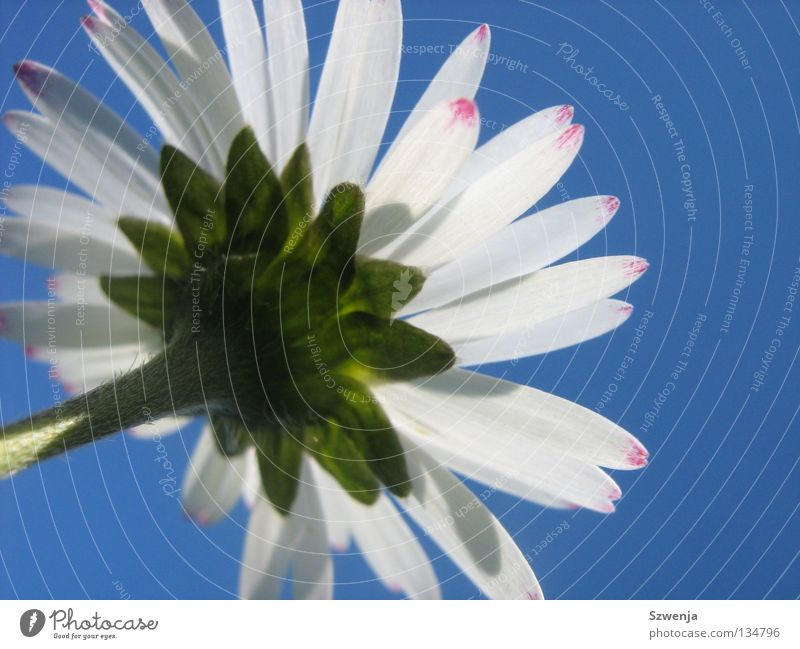 Gänseblümchen Natur weiß Blume grün blau Pflanze Tier rosa Umwelt Wachstum Duft himmelblau