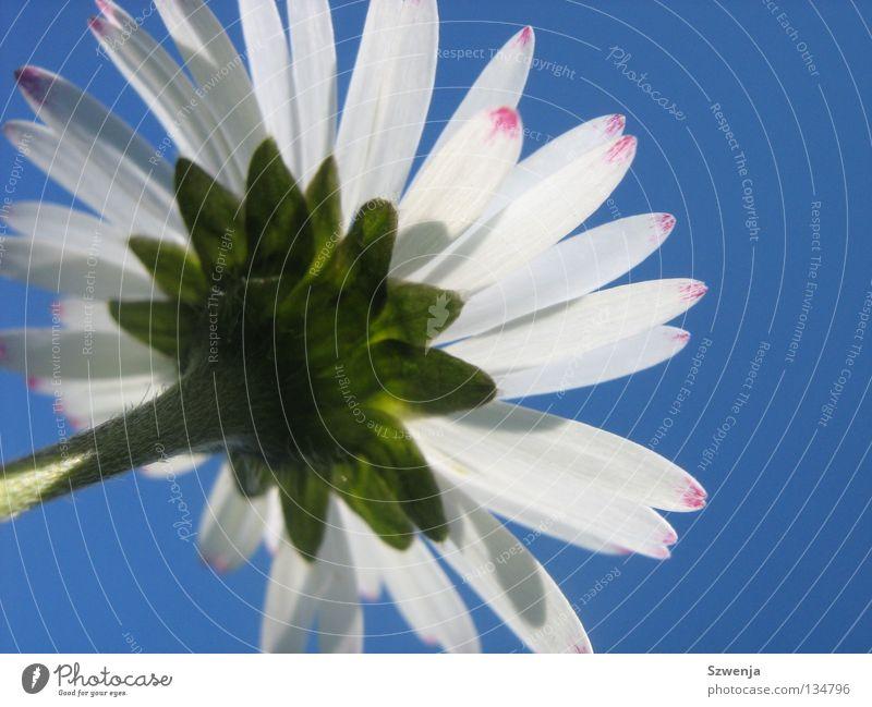 Gänseblümchen Natur weiß Blume grün blau Pflanze Tier rosa Umwelt Wachstum Duft Gänseblümchen himmelblau