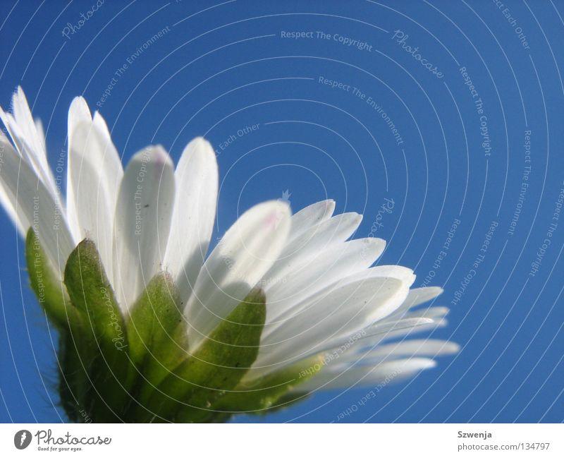 Gänseblümchen again Menschenleer Himmel Blume blau grün weiß himmelblau Gans Flower