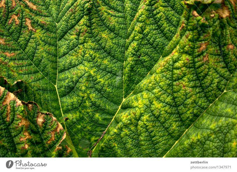 Blatt Pflanze Blattgrün Blattadern Zweig verzweigt Hintergrundbild welk Sommer Botanik exotisch Urwald tropisch