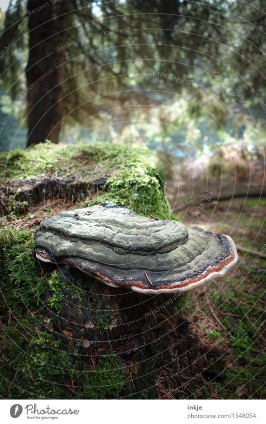 Baumpilz Natur Sommer Herbst Moos Baumstumpf Wald Waldboden Nadelwald Mischwald Pilz Wachstum Schmarotzer Symbiose grün Waldlichtung Waldfrucht Farbfoto