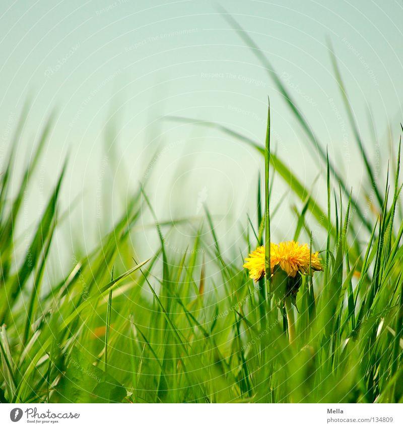 Löwenzahn! Umwelt Natur Pflanze Frühling Blume Gras Blüte Wiese Blühend Wachstum Fröhlichkeit natürlich blau gelb grün Einsamkeit Glück Perspektive Farbfoto