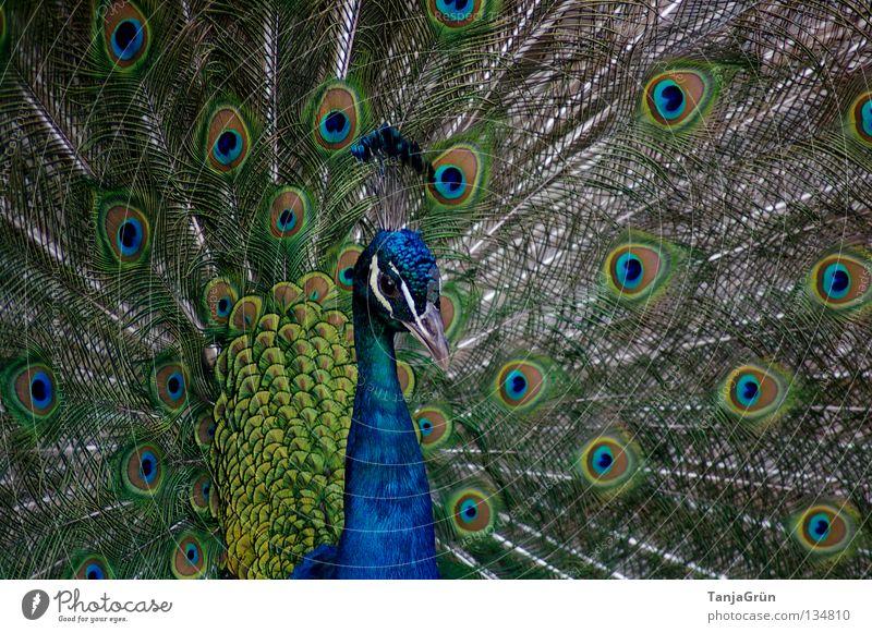 Majestätisch Pfau grün grau Aufschlag Vogel Brunft Flirten mehrfarbig Tier Schnabel schwarz maskulin eitel schön majestätisch Makroaufnahme Nahaufnahme Sommer