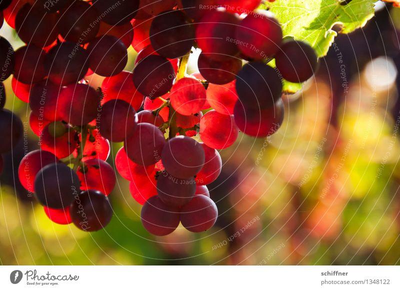 Pinot Noir pour toi Pflanze Nutzpflanze süß Rotwein rot Wein Weintrauben Weinberg Weinbau Weinblatt Spätburgunder Außenaufnahme Menschenleer
