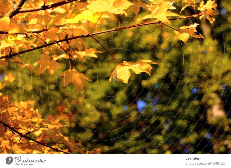 Herbstblätter Umwelt Natur Baum Blatt Wald gelb gold grün Glück Fröhlichkeit geduldig ruhig Idee Idylle einzigartig Inspiration Perspektive seriös Stil Stimmung