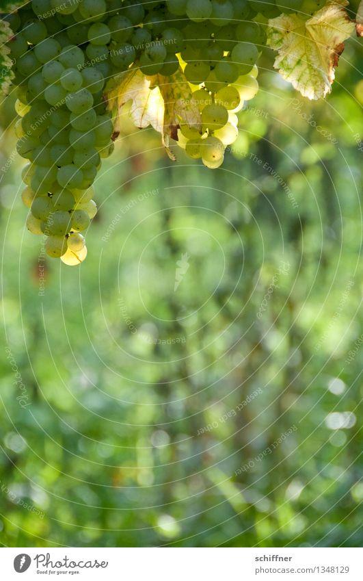 Viel Platz für ihre Winzernotizen Pflanze Schönes Wetter Nutzpflanze grün Weintrauben Weißwein Weinberg Weinblatt Weinbau Außenaufnahme Menschenleer Sonnenlicht