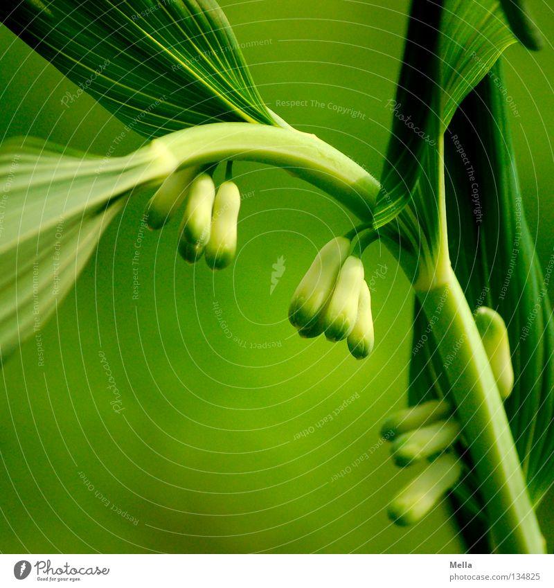grün Natur Pflanze Blume Umwelt natürlich frisch Wachstum ökologisch biologisch Salomonssiegel Vielblütiger Weißwurz