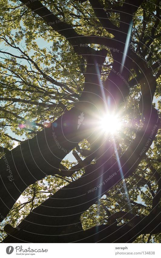 Sonnenbaum Baum Blatt Baumstamm Laubbaum Baumkrone Blätterdach Natur Pflanze Wald Baumrinde verästelt filigran Licht hell Lichteinfall Gegenlicht Silhouette
