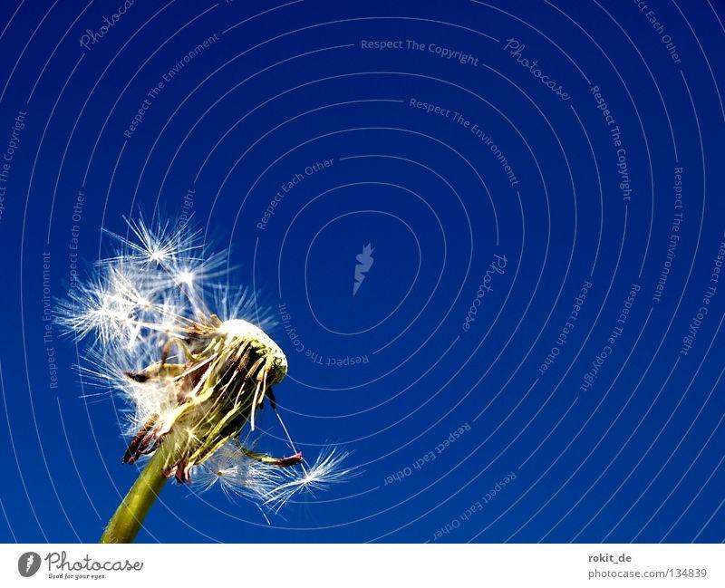 Reservemannschaft blau grün Sommer Freude Einsamkeit Frühling fliegen verrückt Regenschirm Schönes Wetter Stengel Löwenzahn blasen leicht Leichtigkeit verloren