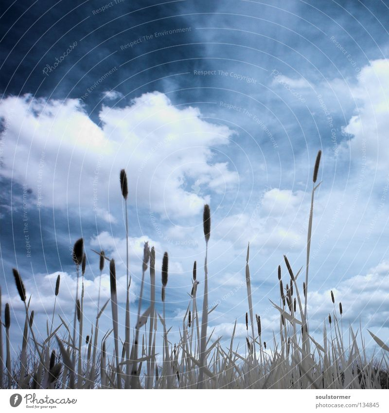 Wiesenleben in IR Himmel Natur blau weiß Baum Wolken schwarz ruhig Ferne dunkel Gras Freiheit frei Rasen Unendlichkeit