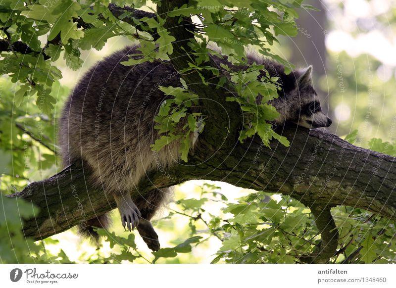 Einfach mal abhängen Tourismus Ausflug Natur Sommer Herbst Wetter Schönes Wetter Baum Blatt Ast Baumstamm Tier Wildtier Tiergesicht Krallen Pfote Zoo Waschbär 1