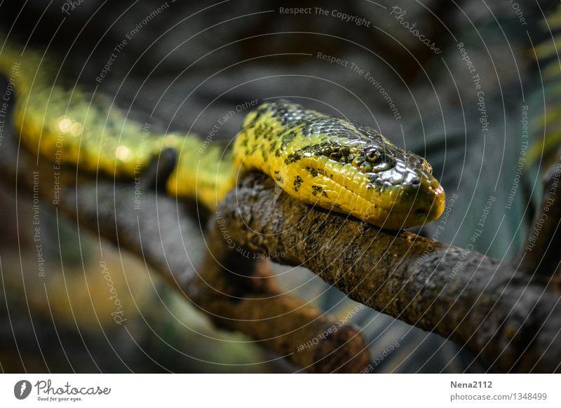 Den Ast entlang... Natur Tier dunkel Umwelt gelb Kopf wild Angst gefährlich bedrohlich Todesangst gruselig Stress exotisch Zoo Aggression