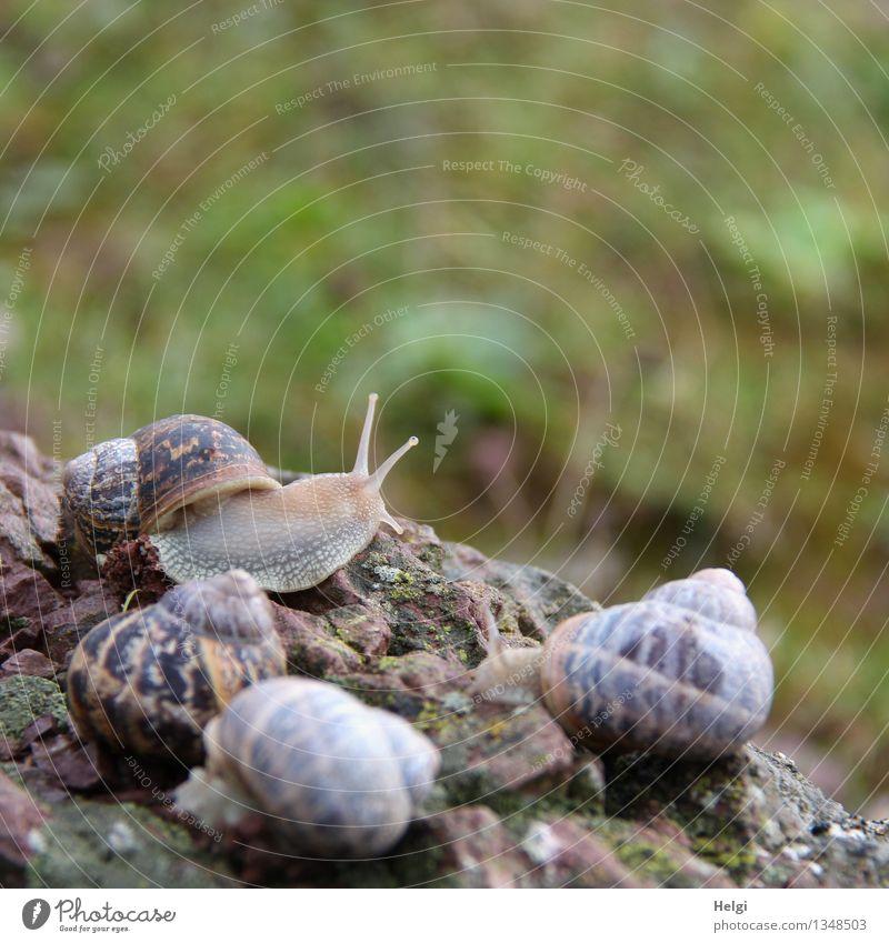 Meeting... Umwelt Natur Tier Felsen Wildtier Schnecke Schneckenhaus 4 krabbeln liegen authentisch Zusammensein einzigartig klein natürlich braun grau grün