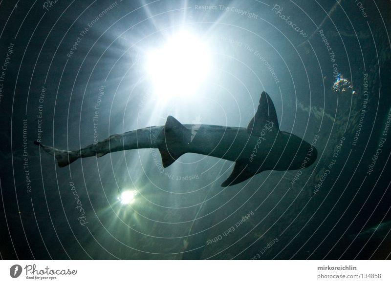 The Shark San Francisco Haifisch Meer See Aquarium gefährlich Fisch Ferien & Urlaub & Reisen USA Tigerhai bedrohlich Danger Dangerous Wasser Watter Sea Lake