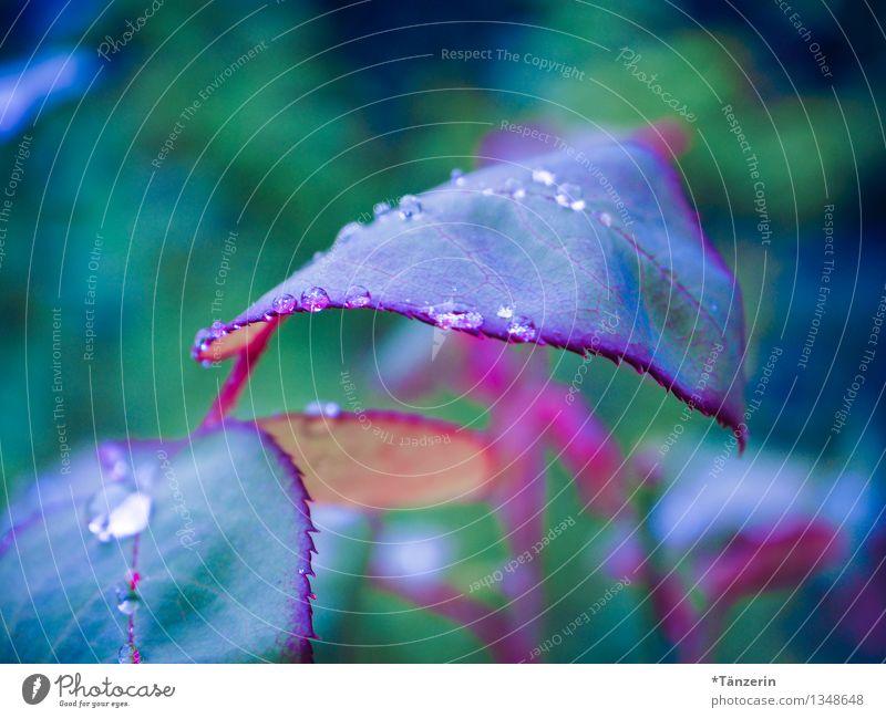 noch mehr Regentropfen Natur Pflanze Urelemente Wasser Wassertropfen Herbst schlechtes Wetter Rose Blatt Garten ästhetisch frisch nass natürlich saftig blau