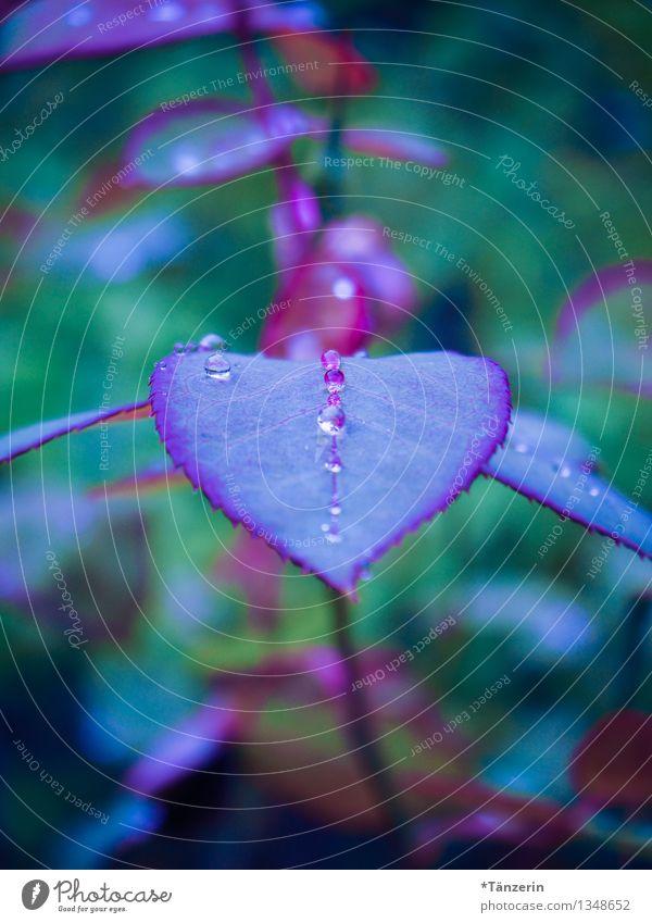 wie Perlen aufgereiht II Natur Pflanze Wassertropfen Herbst schlechtes Wetter Regen Rose Blatt Garten ästhetisch frisch natürlich positiv schön blau grün