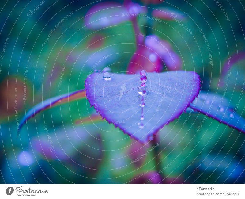 wie Perlen aufgereiht Natur Pflanze Wassertropfen Herbst schlechtes Wetter Regen Rose Blatt Garten ästhetisch schön nass natürlich weich violett Romantik