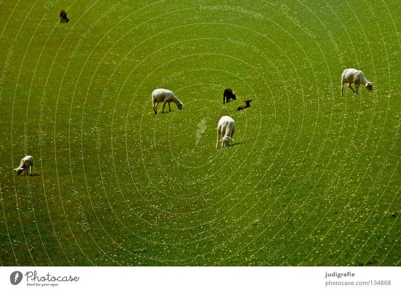 Weiße Schafe | Schwarze Schafe Natur Strand Tier Farbe Umwelt Wiese Ernährung Gras Küste klein Idylle Kitsch zart Nordsee Gänseblümchen