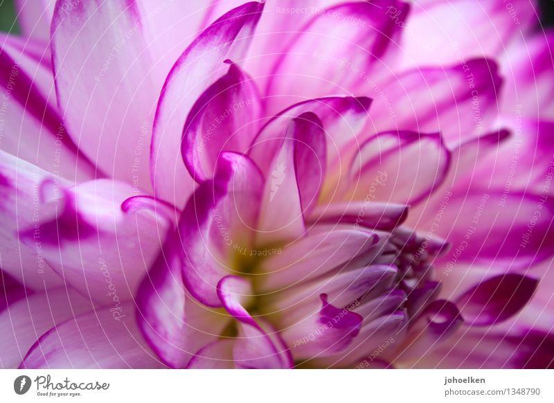Dahlia MakroLensia Pflanze Herbst Blume Blüte Dahlien Knollengewächse Blütenblatt Garten Park Blühend Duft leuchten natürlich wild weich violett weiß schön