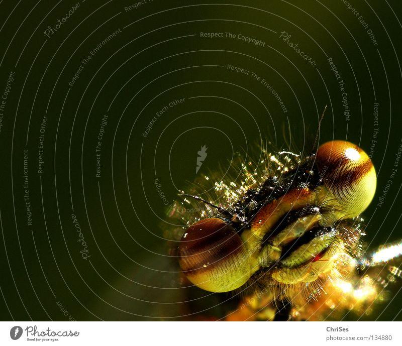 Frühe Adonisjungfer (Pyrrhosoma nymphula) _05 Libelle Insekt rot Tier grün gelb Sommer Gliederfüßer Klein Libelle Schlanklibelle Grimasse Streifen Nordwalde