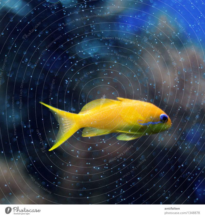 Der Fisch blau Wasser Meer Tier schwarz gelb natürlich klein Schwimmen & Baden gold Glas tauchen Haustier Tiergesicht Zoo