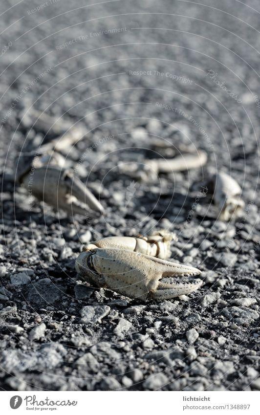Möwenpick Meer Insel Natur Tier Küste Nordsee Ostsee Totes Tier Stein Fressen kaputt Krabbe Panzer Krebstier Wattenmeer Nahrungssuche Schere Rest Zange