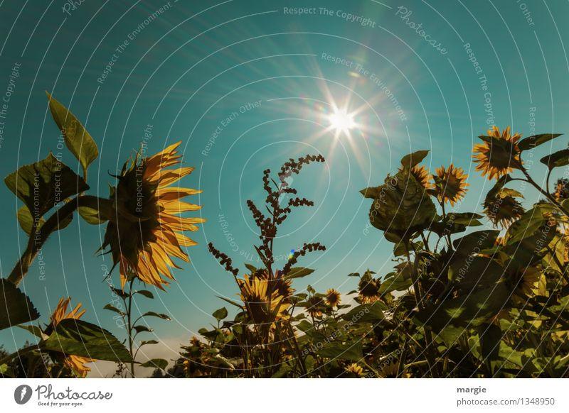 Sonnen - Blumen mit blauem Himmel und Sonnenstrahlen Umwelt Natur Landschaft Pflanze Tier Wolkenloser Himmel Sommer Herbst Sträucher Blatt Blüte