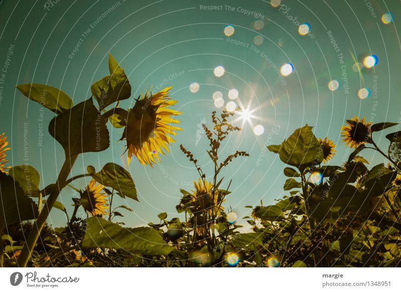 Ein Feld Sonnenblumen  mit blaugrünem Himmel und Lichterscheinung Sonne Umwelt Natur Pflanze Sonnenlicht Blume Blatt Blüte Grünpflanze Nutzpflanze