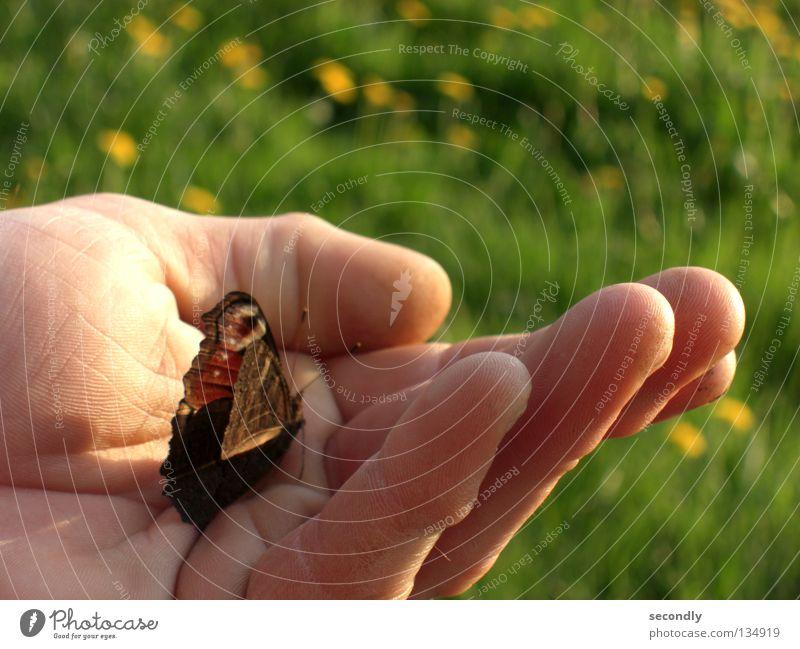 von Lind-ling und Schmetter-wurm Mensch Hand Wiese Frühling Sicherheit Insekt Schmetterling Löwenzahn Wurm Tagpfauenauge