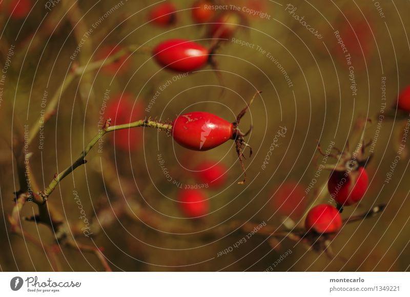 juckpulver Umwelt Natur Pflanze Herbst Sträucher Blüte Grünpflanze Wildpflanze Hagebutten alt dünn authentisch einfach klein nah nachhaltig natürlich rund
