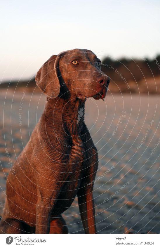 gefährlicher Jagdhund Hund Strand Weimaraner niedlich Wachsamkeit Fell Sand Wachstum Säugetier Vertrauen Blick beobachten sitzen Kontrast Auge Tiergesicht