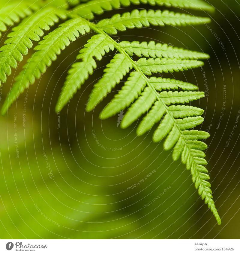 Farnwedel Echte Farne grün pteridopsida Pflanze königsfarn tüpfelfarn Natur Farnblatt filigran Stengel gefiedert frisch Wachstum Botanik Makroaufnahme Sporen