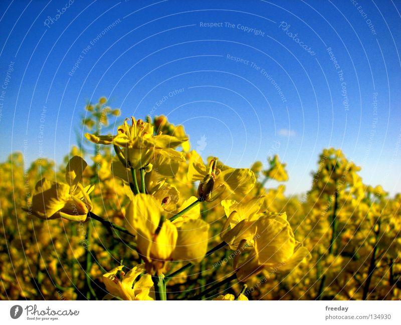 ::: Raps ::: Himmel blau grün Baum Pflanze Farbe Ferne gelb Gesundheit Hintergrundbild hoch Kraft Zukunft Stoff Vergänglichkeit Landwirtschaft