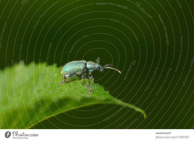 Silberner Grünrüssler Pflanze grün Blatt Tier glänzend elegant Wildtier Spitze Neugier entdecken türkis krabbeln Käfer Fühler Rüsselkäfer